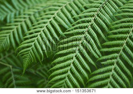 Fresh green New Zealand native fern background