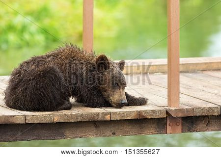 Small brown bear on bridge fence to account for fish. Kurile Lake in Southern Kamchatka Wildlife Refuge.