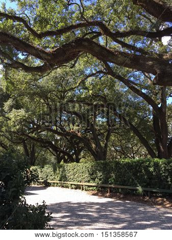 live oak trees forms typical southern scenery in New Orleans