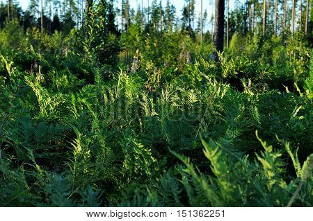 green fern bush in the forest in summer
