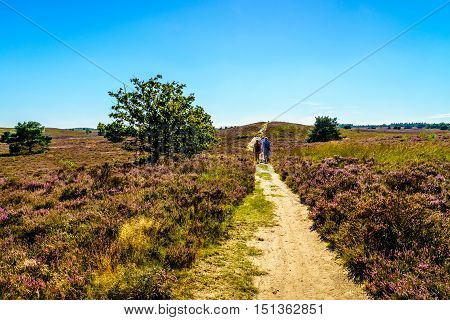 Group of people walking through the Heather Fields with blooming Purple Calluna Heathers on the Elspeedse Heide in Veluwe surrounded by forest of pine trees viewed from the Vodseberg near the town of Elspeed in the Netherlands