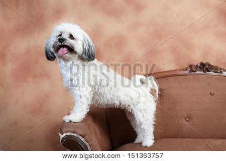 small fluffy white dog stands perched on the edge of thearm of an antique love seat