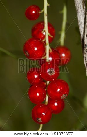 cluster of red currant berries on schrub