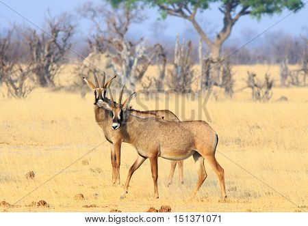 Two Roan Antelopes standing on the plains in Hwange National Park