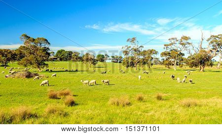 Sheep grazing on a daily farm in rural South Australia