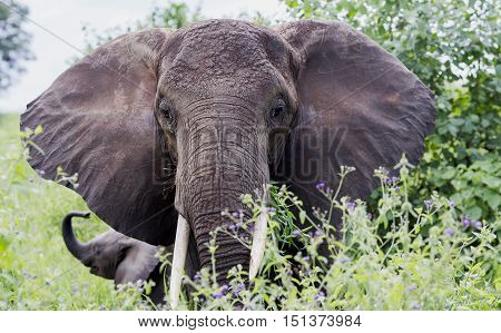African bush elephant (Loxodonta africana) with large wide ears grazing in the meadows of the savannah in Tarangire National Park, Tanzania. The African bush elephant is the largest and heaviest land animal on earth.