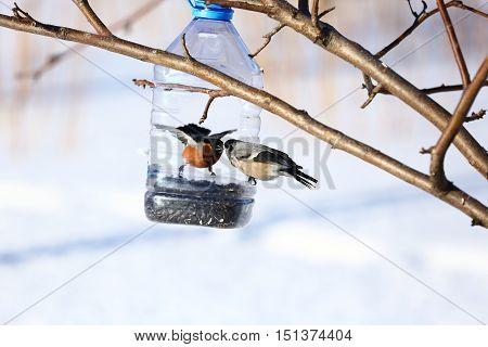 Nature, animals, fauna, birds, winter, feeder, bullfinches, Pyrrhula pyrrhula, songbird, the family of bullfinches, Pyrrhula family finches