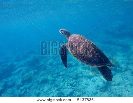 Sea turtle in blue water. Green sea turtle diving in coral reef. Sea tortoise. Green turtle swims in sea. Snorkeling with turtle in lagoon. Aquatic image of extreme underwater sport with text place poster