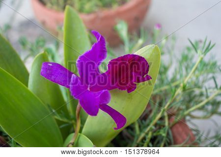 purple flowers in wild nature primula, background,