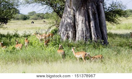 Herd of black-faced impala antelopes (Aepyceros melampus) in the tall grass savanna about African baobab tree (Adansonia digitata) at Tarangire National Park, Tanzania.