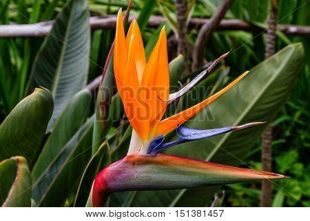Bird of paradise flower or Strelitzia flower of Madeira Island Portugal