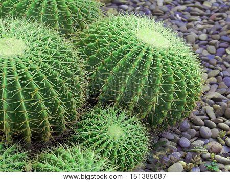 cactus in  green garden for background design