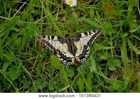 Old World swallowtail (Papilio machaon)is a butterfly of the family Papilionidae