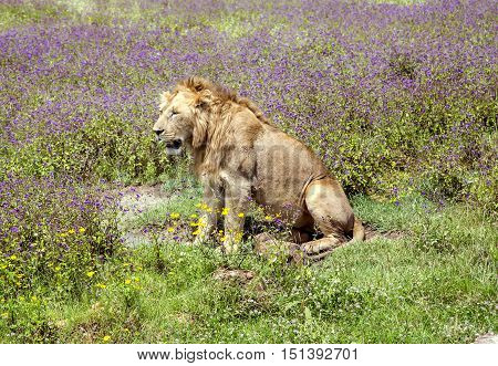 Young male lion is sitting on a meadow in the Ngorongoro Crater, national park Tanzania.