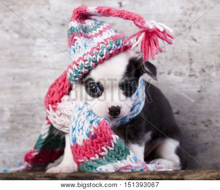 Chihuahua puppy funnily Dressed for hat knit