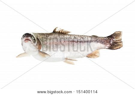 freshwater trout isolate on a white background closeup salmon shot in a studio
