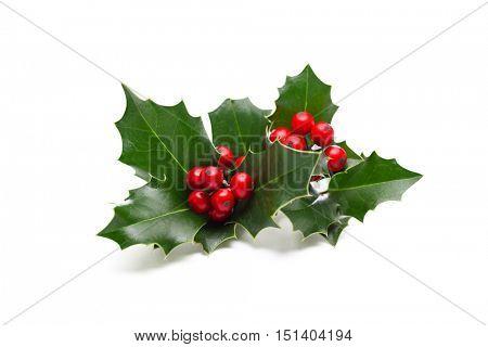 European Holly (Ilex aquifolium) leaves and fruit