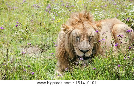 Young male lion resting on a meadow in the Ngorongoro Crater, national park Tanzania.