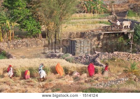 Indian Farmers Working In The Fields, Kumbhalgarh, Indian