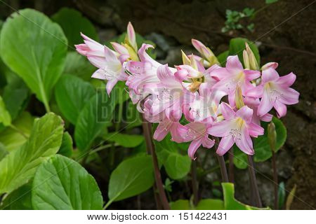 Pale pink and white flower of Belladonna Lily, also called Jersey Lily, Naked Lady Lily, March Lily