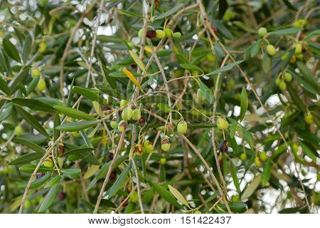 Home grown green European Olive fruit on its tree branches during Autumn in Italy. Olive is to make oil