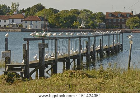 Seagulls sitting on wooden jetty at Bosham Chichester Harbour West Sussex England
