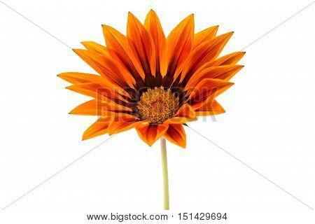 beautiful gazania flower isolated on white background
