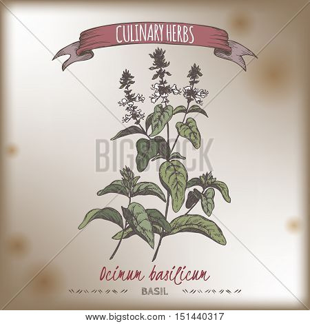 Ocimum basilicum aka Sweet basil color vector hand drawn sketch on vintage background. Culinary herbs collection. Great for cooking, medical, gardening design.