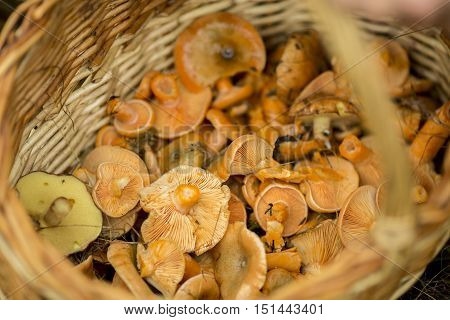 basket with red mushrooms in the forest