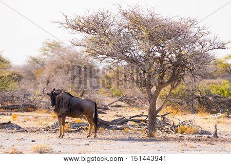 Blue Wildebeest Walking In The Bush. Wildlife Safari In The Etosha National Park, Famous Travel Dest