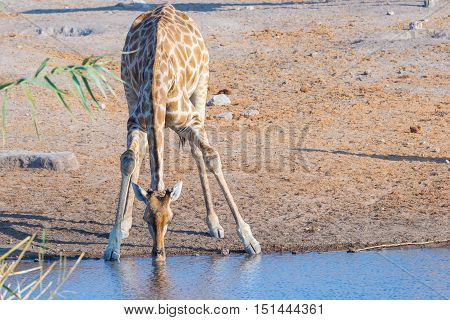 Giraffe Kneeling And Drinking From Waterhole In Daylight. Wildlife Safari In Etosha National Park, T