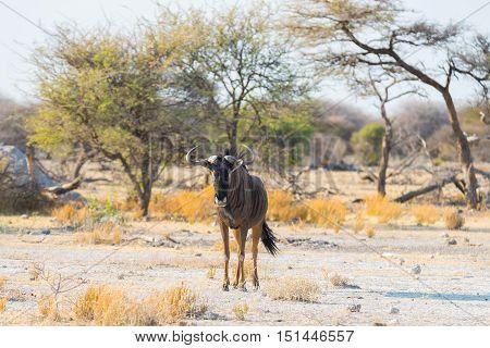 Blue Wildebeest walking in the bush. Wildlife Safari in the Etosha National Park famous travel destination in Namibia Africa.