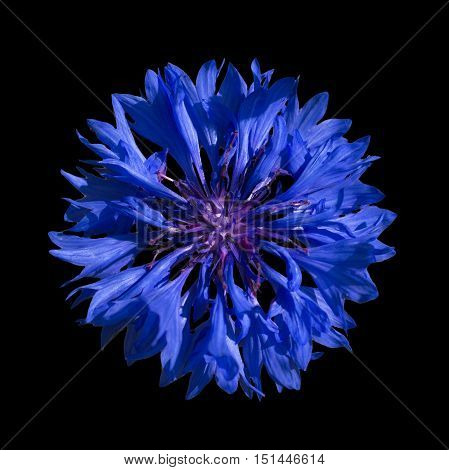 Blue Cornflower Blue Middle On A Black Background