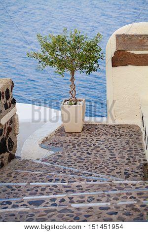 Olive Tree. Oia Town Santorini Island Greece