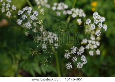 Closeup view of blooming wild Conium maculatum over a beautiful green background with bokeh