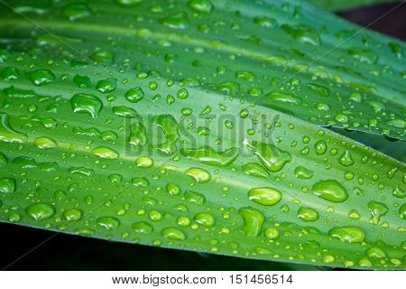 Leaf in the rain. Tropical plant leaf macro photo. Green leaf with water drops closeup. After the tropical rain. Fresh natural image for wallpaper background card or banner template. Clean ecology