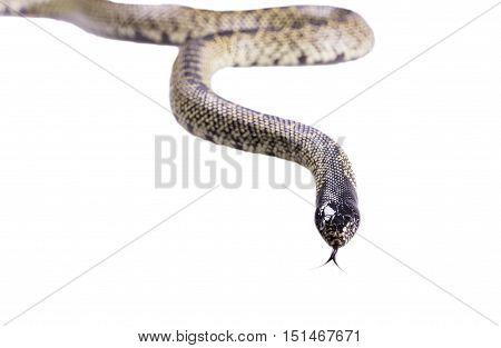 Snake Lampropeltis getula splendida Isolated on white background