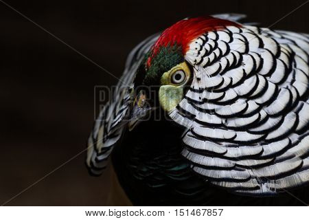 beautiful pheasant with an awesome pattern and colors in the feathers