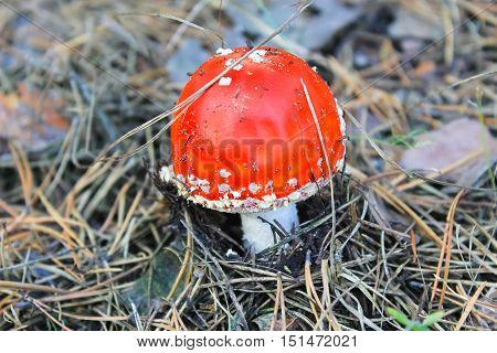 Red mushroom (Amanita Muscaria Fly Ageric Fly Amanita) in autumn forest