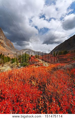 Autumn mountains and red shrub. (Altai Russia).