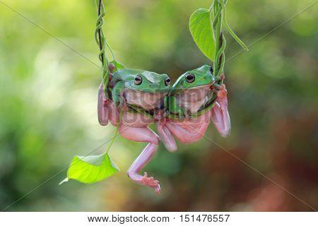 Two Dumpy tree frog swinging on branch