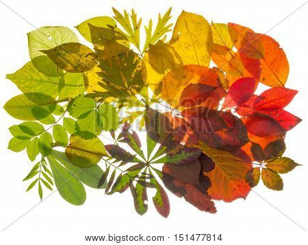 bright beautiful multicolored translucent leaves arranged with the transition of color isolated on white background