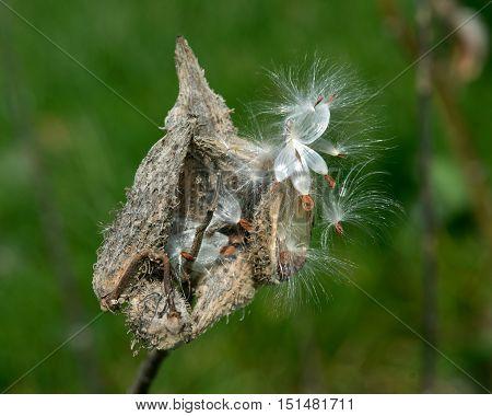 Large milkweed bugs on a common milkweed pod