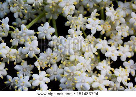 Elderberry flowers background full frame of elderberry flowers close up view