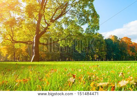 Autumn landscape with deciduous autumn maple tree in sunny autumn park. Sunny autumn landscape of autumn nature in autumn park. Autumn nature in soft sunny light. Autumn park with colorful autumn tree