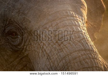 Close Up Of An Elephant Eye.