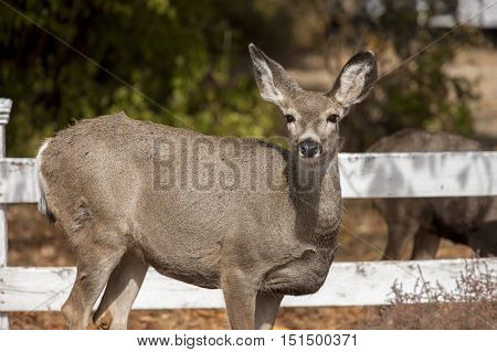 Deer looks at camera. A white tail deer stands next to a wooden fence in the town of Twisp Washington.