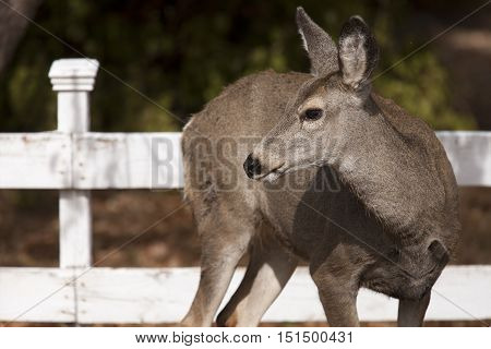 Deer looks off to the side. A white tail deer stands next to a wooden fence in the town of Twisp Washington.