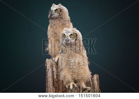 A couple of owl with black background