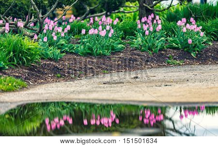 Pink Tulips with reflection in the water